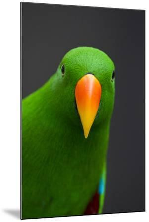 A Male Eclectus Parrot-Michael Melford-Mounted Photographic Print