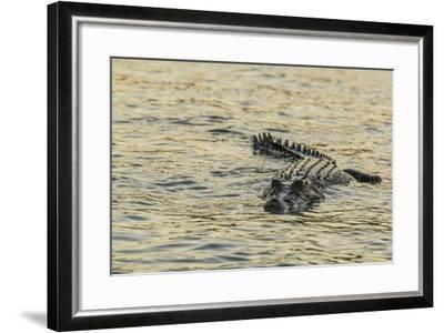 An Adult Wild Saltwater Crocodile (Crocodylus Porosus), Mitchell River National Park-Michael Nolan-Framed Photographic Print