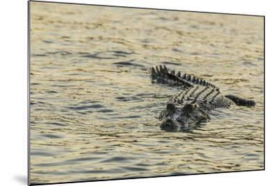 An Adult Wild Saltwater Crocodile (Crocodylus Porosus), Mitchell River National Park-Michael Nolan-Mounted Photographic Print