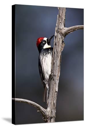 Acorn Woodpecker (Melanerpes Formicivorus)-James Hager-Stretched Canvas Print