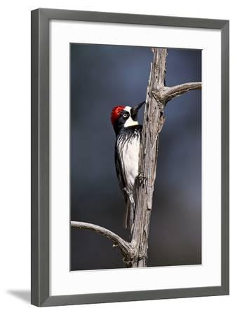 Acorn Woodpecker (Melanerpes Formicivorus)-James Hager-Framed Photographic Print