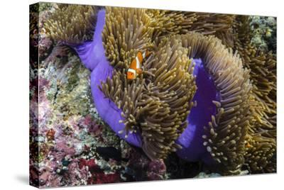 False Clown Anemonefish (Amphiprion Ocellaris)-Michael Nolan-Stretched Canvas Print