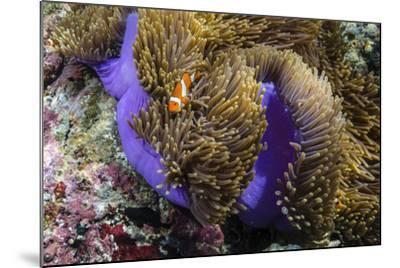 False Clown Anemonefish (Amphiprion Ocellaris)-Michael Nolan-Mounted Photographic Print