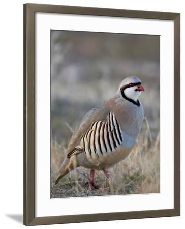 Chukar (Alectoris Chukar)-James Hager-Framed Photographic Print