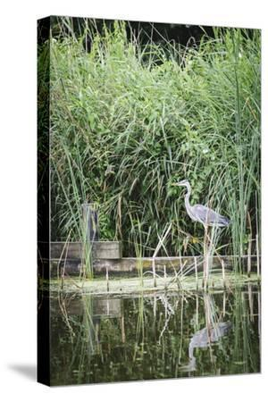 Grey Heron (Ardea Cinerea) by Waters Edge-Mark Doherty-Stretched Canvas Print