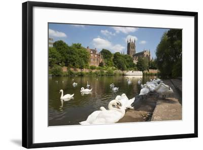 Swans Beside the River Severn and Worcester Cathedral, Worcester, Worcestershire, England-Stuart Black-Framed Photographic Print