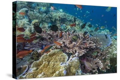 A Profusion of Coral and Reef Fish on Batu Bolong, Komodo Island National Park, Indonesia-Michael Nolan-Stretched Canvas Print
