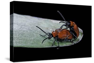 Lilioceris Lilii (Scarlet Lily Beetle, Lily Leaf Beetle) - Mating-Paul Starosta-Stretched Canvas Print