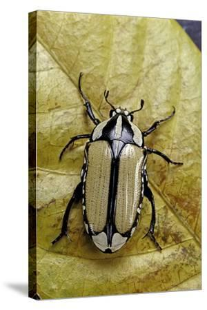 Gnathocera Bilineata (Flower Beetle)-Paul Starosta-Stretched Canvas Print