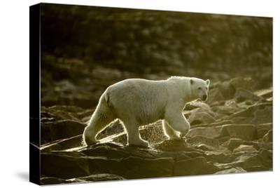 Polar Bear Walking along Hudson Bay, Nunavut, Canada-Paul Souders-Stretched Canvas Print
