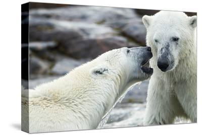 Polar Bears Sparring on Harbour Islands, Hudson Bay, Nunavut, Canada-Paul Souders-Stretched Canvas Print