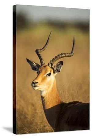 Impala, Moremi Game Reserve, Botswana-Paul Souders-Stretched Canvas Print