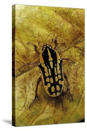 Gnathocera Impressa (Flower Beetle)-Paul Starosta-Stretched Canvas Print
