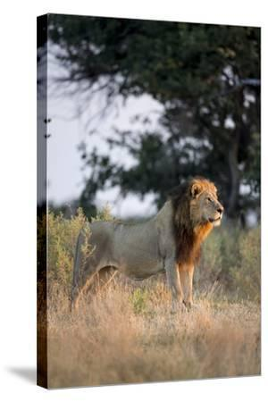 Male Lion, Moremi Game Reserve, Botswana-Paul Souders-Stretched Canvas Print