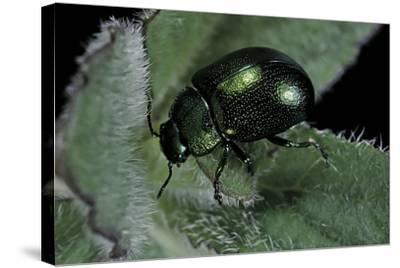 Chrysolina Herbacea (Mint Beetle)-Paul Starosta-Stretched Canvas Print