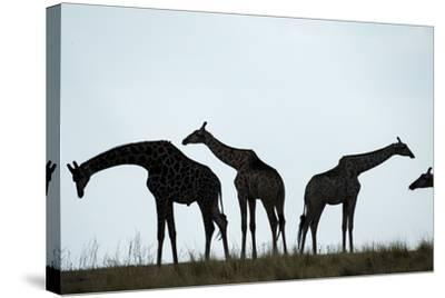 Giraffe Herd, Chobe National Park, Botswana-Paul Souders-Stretched Canvas Print