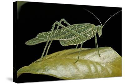 Katydid or Bush-Cricket or Long-Horned Grasshopper-Paul Starosta-Stretched Canvas Print