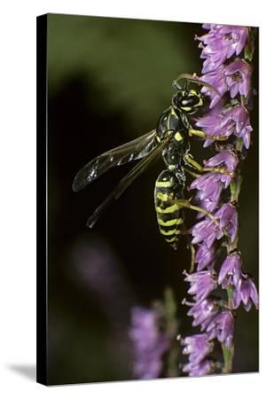 Polistes Dominula (European Paper Wasp)-Paul Starosta-Stretched Canvas Print