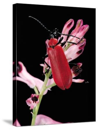 Pyrochroa Serraticornis (Scarlet Lily Beetle)-Paul Starosta-Stretched Canvas Print