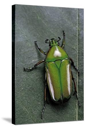 Smaragdesthes Africana (Flower Beetle)-Paul Starosta-Stretched Canvas Print