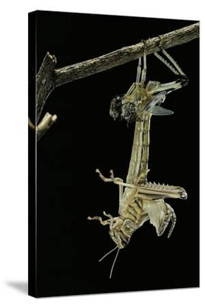 Schistocerca Gregaria (Desert Locust) - Emerging-Paul Starosta-Stretched Canvas Print
