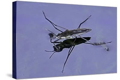 Gerris Lacustris (Common Pond Skater)-Paul Starosta-Stretched Canvas Print