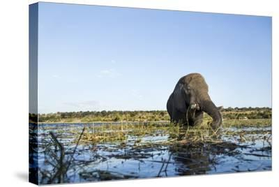 African Elephant, Chobe National Park, Botswana-Paul Souders-Stretched Canvas Print