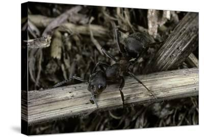 Formica Rufa (Red Wood Ant)-Paul Starosta-Stretched Canvas Print