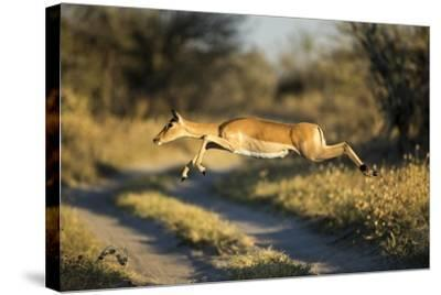 Leaping Impala, Moremi Game Reserve, Botswana-Paul Souders-Stretched Canvas Print