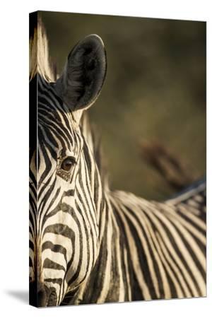 Plains Zebra, Moremi Game Reserve, Botswana-Paul Souders-Stretched Canvas Print