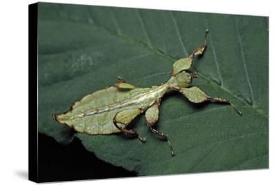Phyllium Giganteum (Giant Malaysian Leaf Insect, Walking Leaf) - Larva-Paul Starosta-Stretched Canvas Print