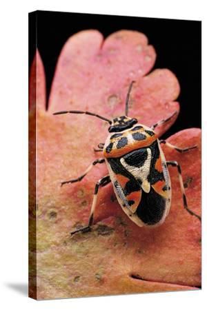 Eurydema Ornata (Shield Bug)-Paul Starosta-Stretched Canvas Print
