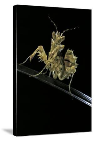 Creobroter Gemmatus (Jeweled Flower Mantis)-Paul Starosta-Stretched Canvas Print