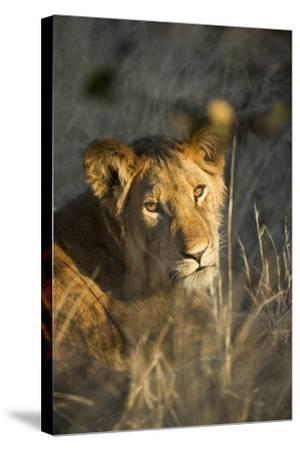 Lion Cub in Tall Grass, Chobe National Park, Botswana-Paul Souders-Stretched Canvas Print