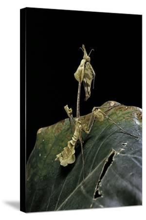 Gongylus Gongylodes (Wandering Violin Mantis)-Paul Starosta-Stretched Canvas Print