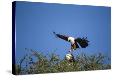 Fish Eagles Mating, Chobe National Park, Botswana-Paul Souders-Stretched Canvas Print