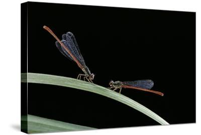 Ceriagrion Tenellum (Small Red Damselfly)-Paul Starosta-Stretched Canvas Print