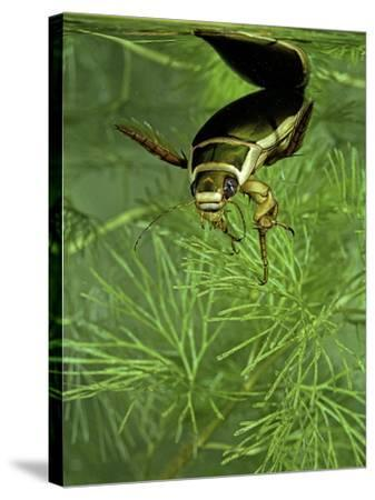 Dytiscus Marginalis (Great Diving Beetle)-Paul Starosta-Stretched Canvas Print