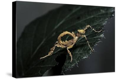Extatosoma Tiaratum (Giant Prickly Stick Insect) - Larva-Paul Starosta-Stretched Canvas Print