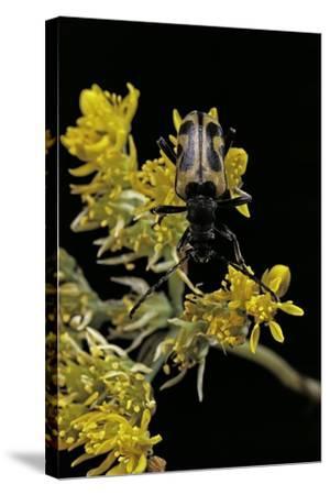 Brachyta Interrogationis (Long-Horned Beetle)-Paul Starosta-Stretched Canvas Print
