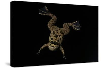 Xenopus Fraseri (Fraser's Clawed Frog)-Paul Starosta-Stretched Canvas Print