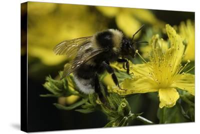Bombus Hortorum (Small Garden Bumblebee)-Paul Starosta-Stretched Canvas Print