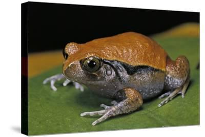 Dyscophus Guineti (False Tomato Frog)-Paul Starosta-Stretched Canvas Print