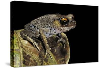 Leptobrachium Hasseltii (Hasselt's Toad, Tschudi's Frog)-Paul Starosta-Stretched Canvas Print