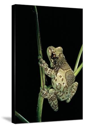 Phrynohyas Resinifictrix (Amazon Milk Frog)-Paul Starosta-Stretched Canvas Print