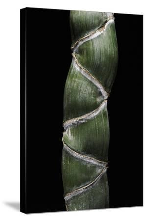 Phyllostachys Edulis Var. Heterocycla (Tortoiseshell Bamboo, Kikkouchiku)-Paul Starosta-Stretched Canvas Print