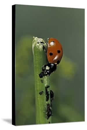 Coccinella Septempunctata (Sevenspotted Lady Beetle) - Devouring Aphids-Paul Starosta-Stretched Canvas Print