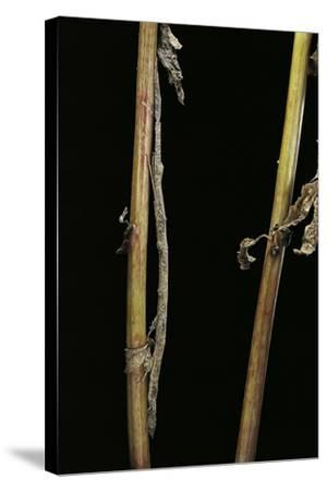 Carausius Spinosus (Pincer-End Stick Insect)-Paul Starosta-Stretched Canvas Print