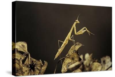 Mantis Religiosa (Praying Mantis) - Larva-Paul Starosta-Stretched Canvas Print