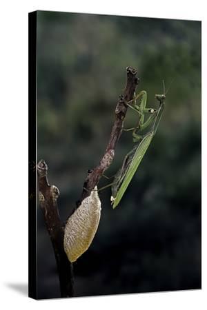 Mantis Religiosa (Praying Mantis) - Laying-Paul Starosta-Stretched Canvas Print